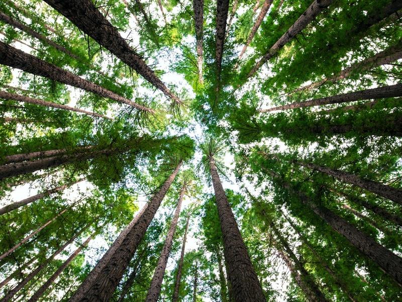 Tailler fortement un arbre, ça le revivifie, il fabrique de grands rejets et ses feuilles sont plus larges.